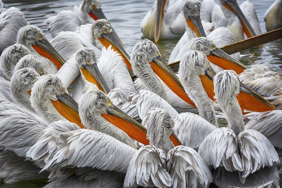 Lago di Kerkini Pellicani Foto di john Ioannidis da Pixabay